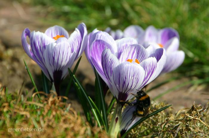Frühlings-Krokus mit Hummel