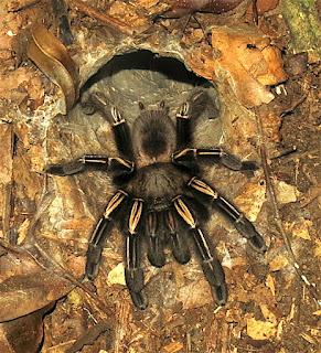 Aphonopelma sp., tarantula