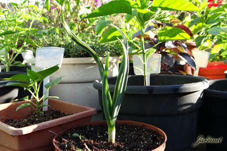 Alho orgânico cultivado em vasos