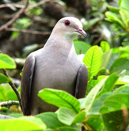 Indian birds - Photo of Nilgiri imperial pigeon - Ducula cuprea