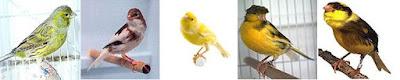 Tren Perlombaan Isian Lagu Burung Kenari Di Jogja dan Jakarte - Solusi Memaster Burung KenariTren Perlombaan Isian Lagu Burung Kenari Di Jogja dan Jakarte - Solusi Memaster Burung Kenari