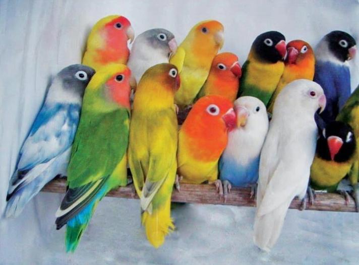 Lovebird, Burung Cantik yang Harganya Mahal