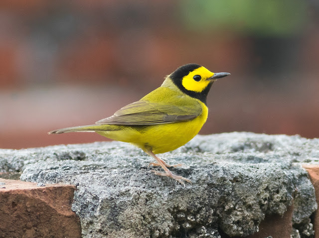 Hooded Warbler - Dry Tortugas NP, Florida