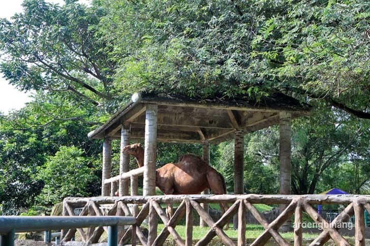 unta kebun binatang ragunan jakarta