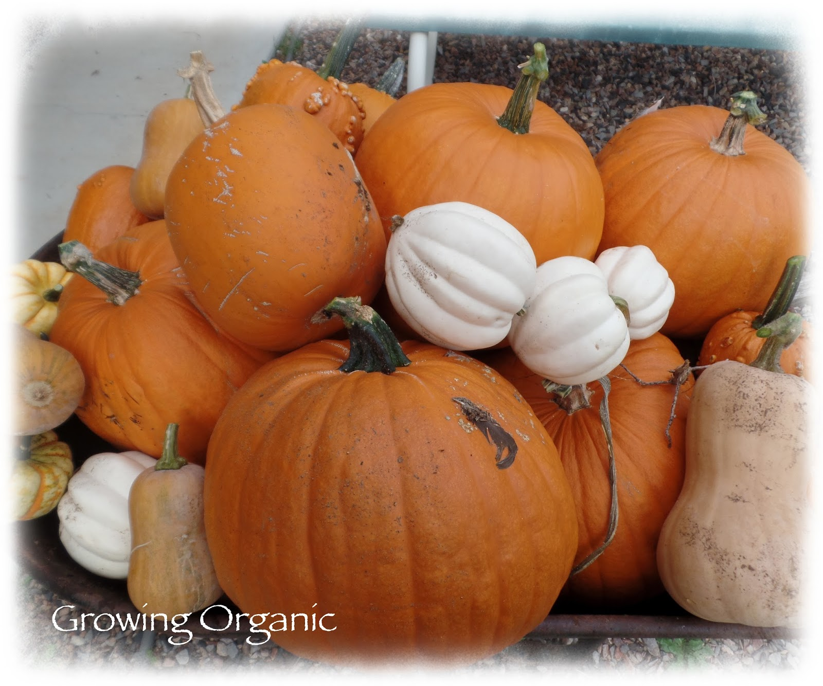 Growing Organic : Feeding Your Family From the Garden