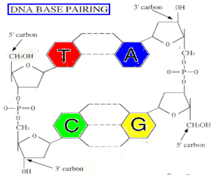 Dna fingerprinting ashish thakur read write learn and apply the more different the organisms the more different are the dna sequences dna fingerprinting is a very quick way to compare the dna sequences of any two ccuart Gallery