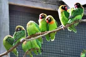 Burung lovebird sekarang semakin ramai digemari pecinta burung Cara Menangkar atau Ternak Lovebird
