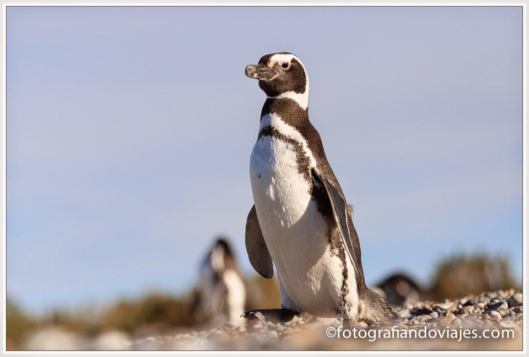 Pingüinos de Magallanes en Patagonia