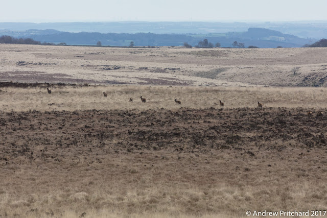 A wider view of the moorland environment that the deer inhabit.