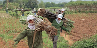 Agricultural production systems in the tropics − such as sugar cane farming in Vietnam − are vulnerable to the impacts of temperature rise. (Image Credit: Idan Robbins via Wikimedia Commons) Click to Enlarge.