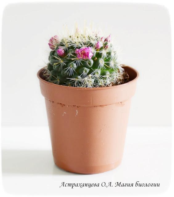 cvetok-kaktusa