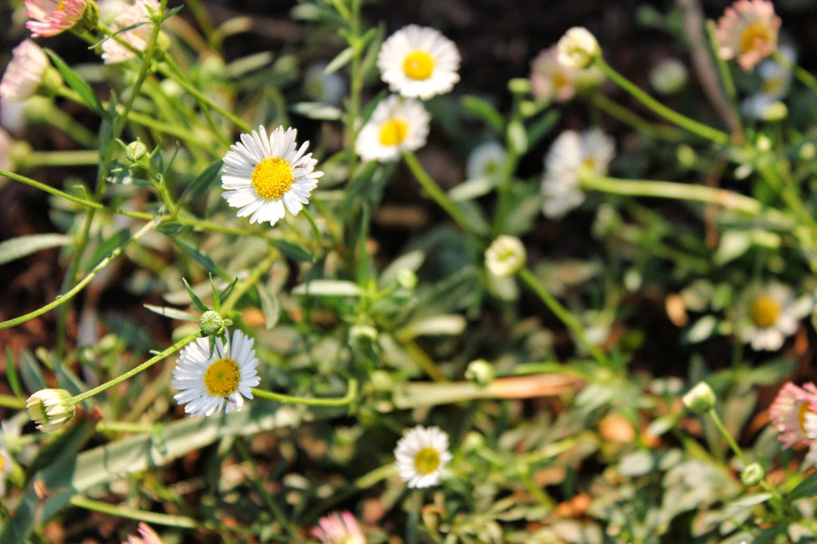 Gardening in africa heres whats blooming in my garden in erigeron karvinskianus mexican daisy has grey green foliage with masses of white to pink small daisy like flowers most of the year izmirmasajfo