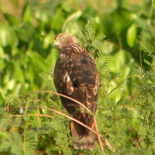 Indian birds - Image of Eastern marsh harrier - Circus spilonotus
