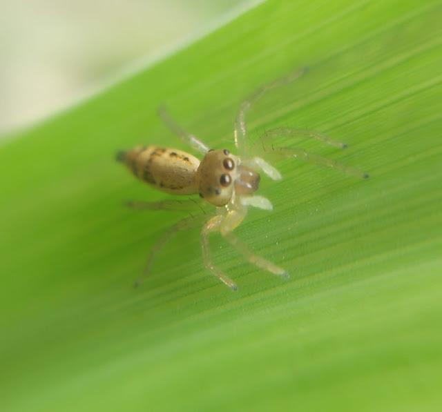 Indahnya Laba -Laba dalam Lensa Macro (Beautiful Spider in Macro Lenses)