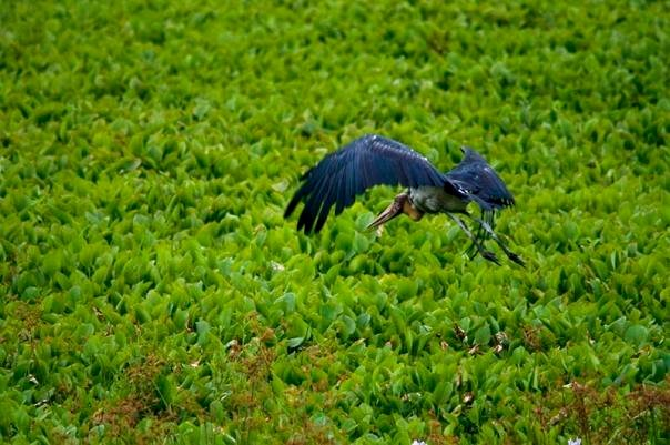 Lesser Adjutant stork at Kaziranga National Park (photo - Nassif Ahmed)
