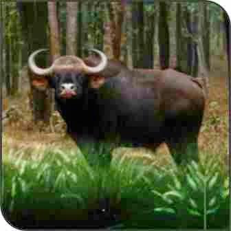 Wild Buffalo (Bubalus Bubalis)