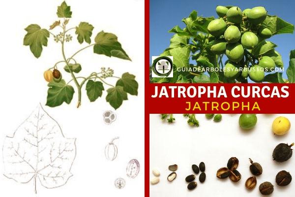 Jatropha curcas llamada planta maravilla, muy recomendable para incluir en Bosques Comestibles Mediterráneos