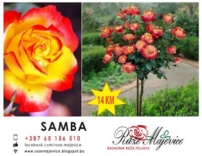 SAMBA ruza stablasica