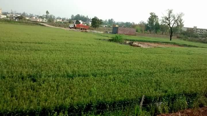 LUSH GREEN FIELDS OF PUNJAB
