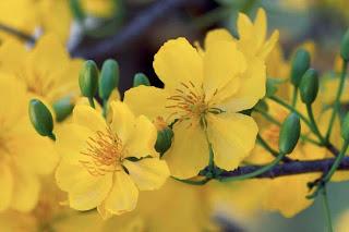 Hình đẹp hoa mai vàng