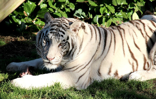 White Bengal Tiger at Paradise Wildlife Park