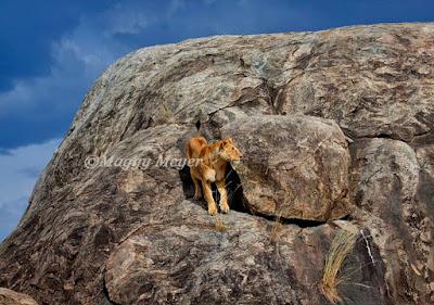 Leona sobre unas rocas
