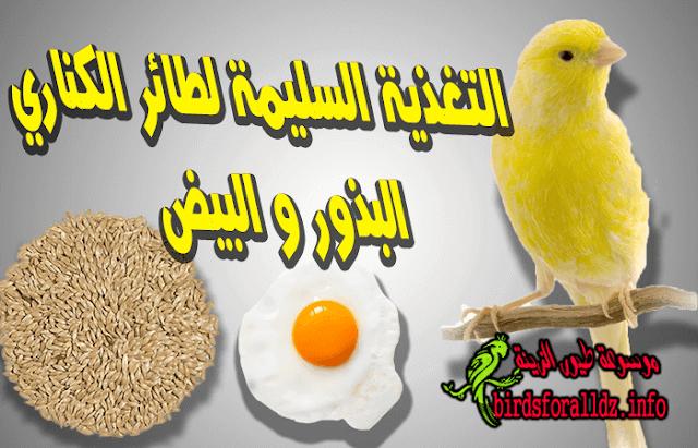 تغذية طائر الكناري : البذور و البيض
