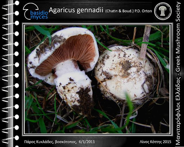 Agaricus gennadii  (Chatin & Bοud.) P.D. Οrton