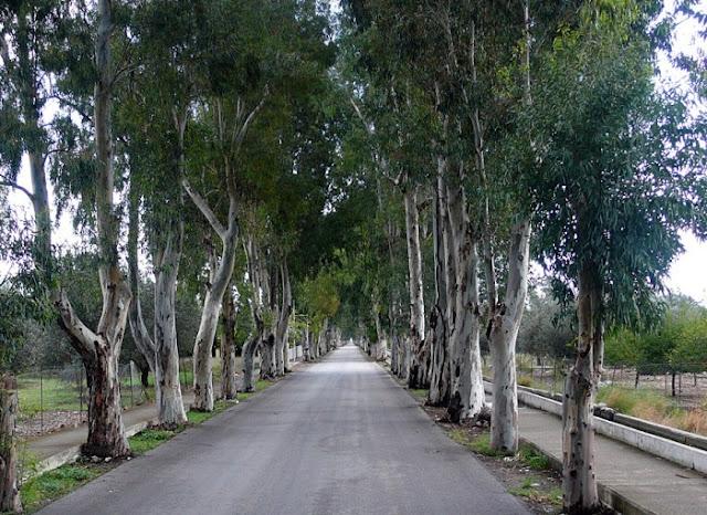 szeroka droga po boku której rosną wysokie ukaliptusy Aleja Rodos