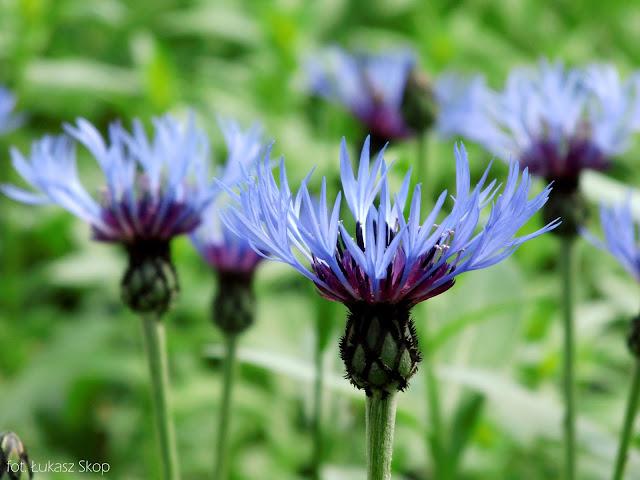 niebieskie kwiaty chabra