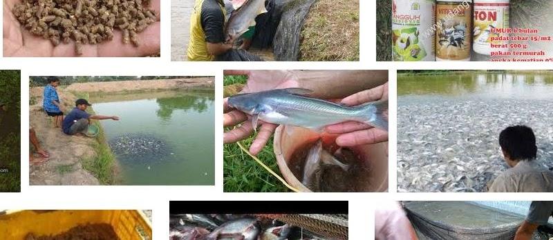 Jenis Makanan Ikan Patin Alami dan Buatan yang Bernutrisi