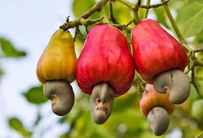 Gambar Buah Jambu Monyet Merah di Pohon Foto Buah-Buahan Segar di Hutan
