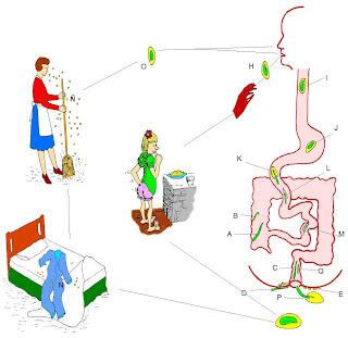 vermicularis caracteristicas