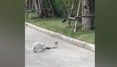 kucing lawan ular king kobra