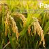 Padi, Beras, dan Nasi Beserta Nama Lain dalam Bentuk Lainnya