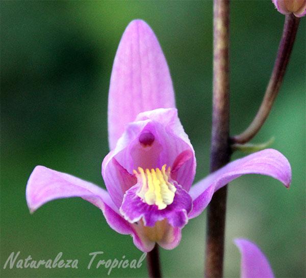 Flor de la orquídea de autopista o Candelaria, Bletia purpurea