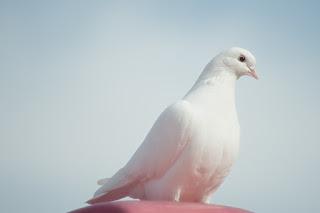 Стихи о белых голубях
