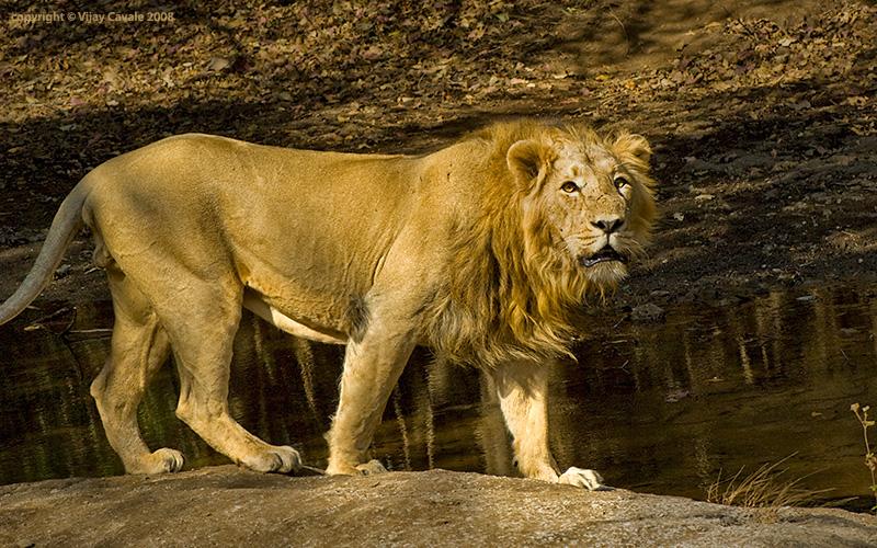 Lion Asian 75