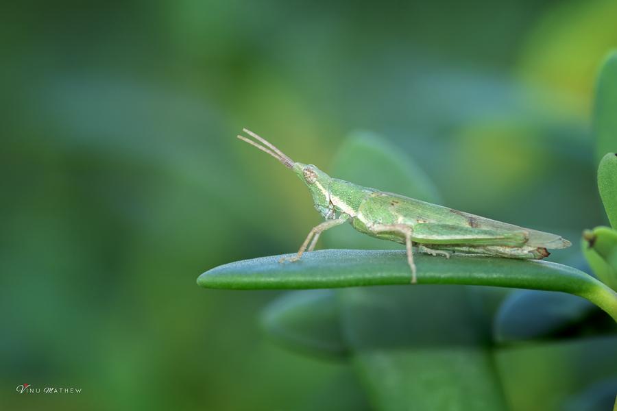Hollow Grashopper