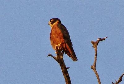 Halcón oriental Falco severus