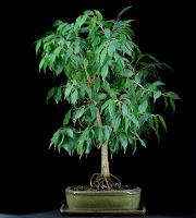 bonsai przed przycinaniem