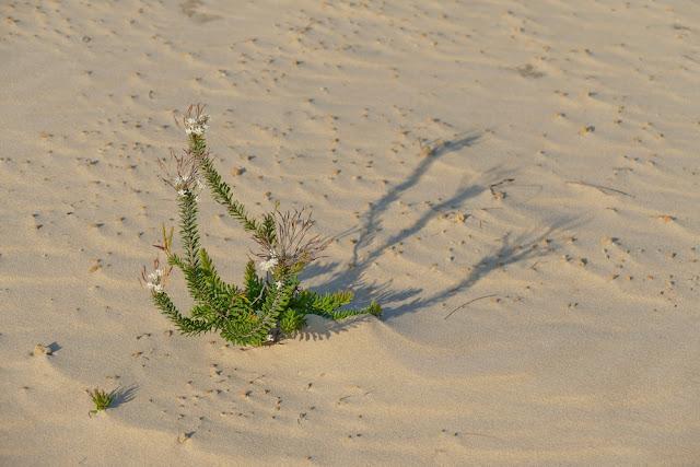 Wüstenpflanze Wüste auf Moreton Island Pflanze Sand