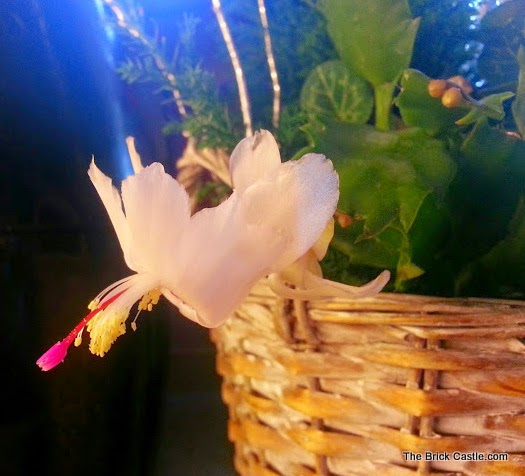Bunches plants reviewed White Christmas Cactus in bloom