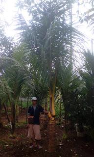 Jual pohon kelapa kuning harga murah
