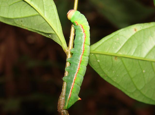 New study challenges paradigm on plant-herbivore coevolution