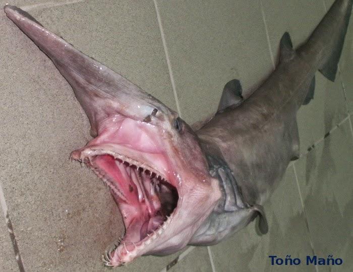 Tiburones en Galicia: Encuentro con un duende