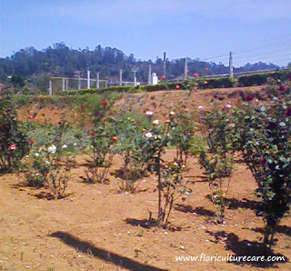 rose trees on field