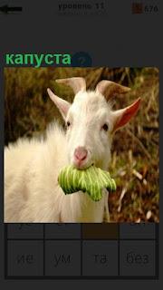 Стоит коза и пасется, в зубах держит лист капусты