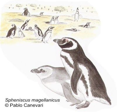 pinguinos de argentina Pingüino patagónico Spheniscus magellanicus