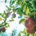 Pohon Apel Merah Berbuah Kesabaran